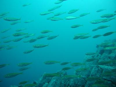 ビアノ岬071007 アジ群れ004.jpg